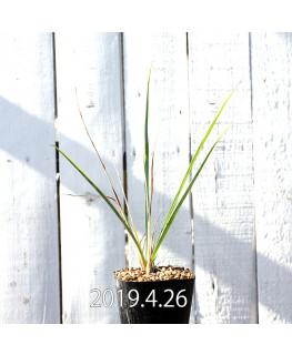 Yucca rigida EQ493 Seedling 8777