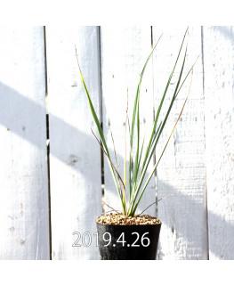 Yucca rigida EQ493 Seedling 8784