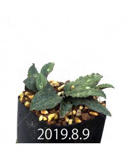 Drimiopsis sp. EQ496 Offset 8826