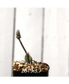 Drimiopsis sp. EQ496 Offset 8833