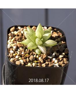Haworthia reticulata var. hurlingii Offset 9731