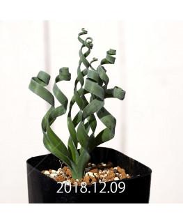 Albuca concordiana Type-KP Seedling 9847