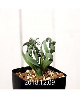 Albuca concordiana Type-KP Seedling 9848
