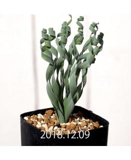 Albuca concordiana Type-KP Seedling 9857