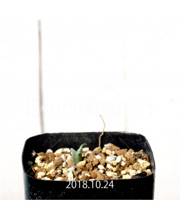 Albuca concordiana Type-KP Seedling 9895
