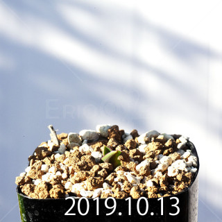 Lachenalia carnosa Seedling 11375