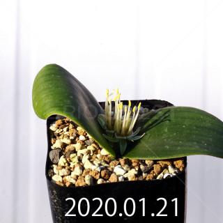 Massonia depressa EQ646 Seedling 11817