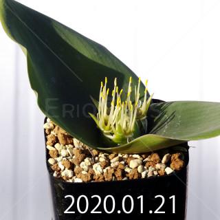 Massonia depressa EQ646 Seedling 11821