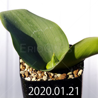 Massonia depressa EQ646 Seedling 11822