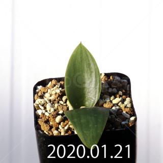 Massonia depressa EQ646 Seedling 11825