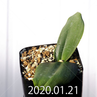 Massonia depressa EQ646 Seedling 11828