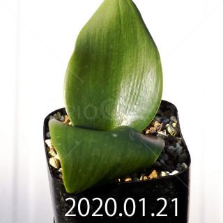 Massonia depressa EQ646 Seedling 11831