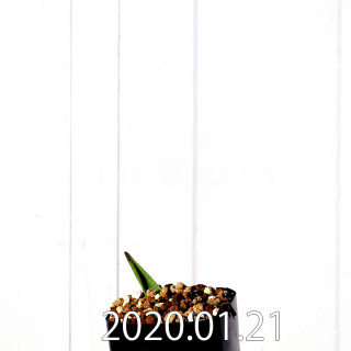 Lachenalia bulbifera EQ658 Offset 12020