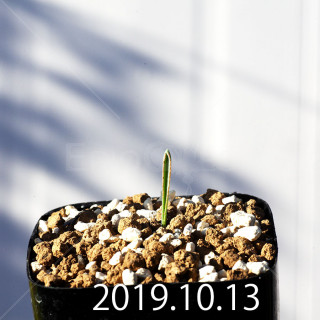 Albuca dilucula Seedling 13911