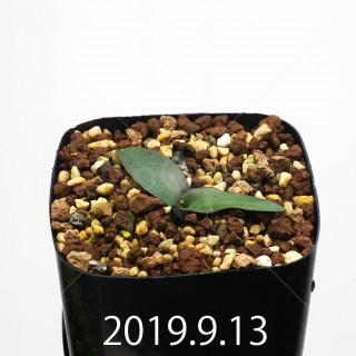 Ledebouria ovatiflora var. scabrida Seedling 14917
