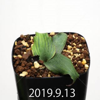 Ledebouria ovatiflora var. scabrida Seedling 14924