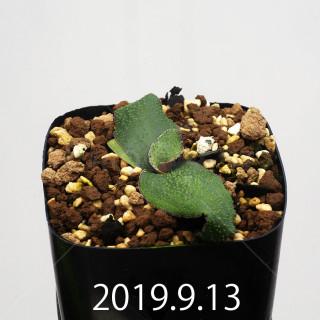 Ledebouria ovatiflora var. scabrida Seedling 14927