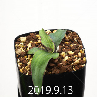 Ledebouria ovatiflora var. scabrida Seedling 14930