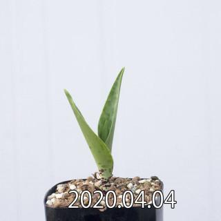 Ledebouria revoluta EQ780 Seedling 15068