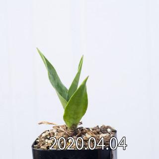 Ledebouria revoluta EQ780 Seedling 15070