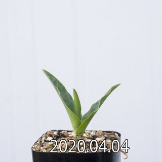 Ledebouria revoluta EQ780 Seedling 15074
