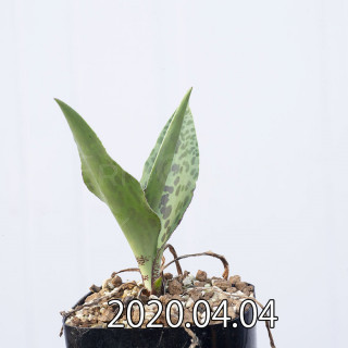 Ledebouria revoluta EQ780 Seedling 15079