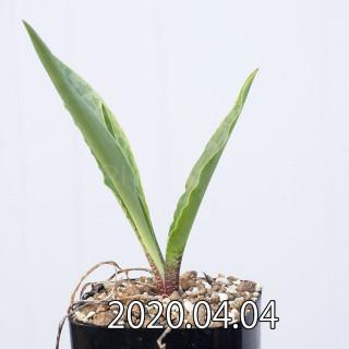 Ledebouria revoluta EQ780 Seedling 15081
