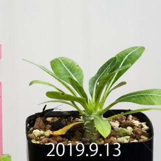 Pachypodium eburneum EQ787 Seedling 15136
