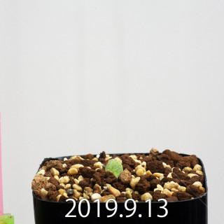 Pachypodium eburneum EQ787 Seedling 15142