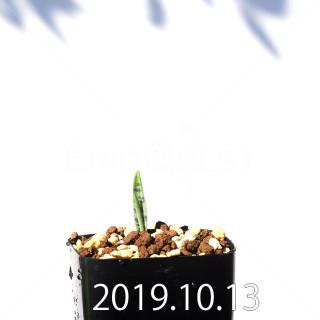 Lachenalia aloides var. quadricolor Seedling 17601