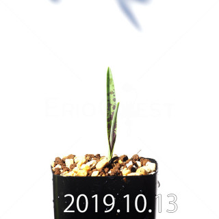 Lachenalia aloides var. quadricolor Seedling 17603