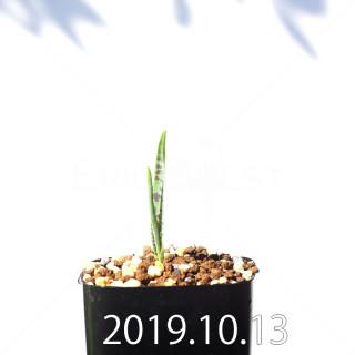 Lachenalia aloides var. quadricolor Seedling 17606