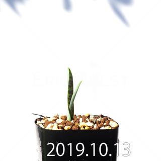 Lachenalia aloides var. quadricolor Seedling 17610