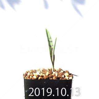 Lachenalia aloides var. quadricolor Seedling 17619