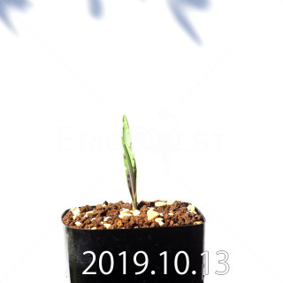 Lachenalia aloides var. quadricolor Seedling 17632