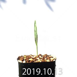 Lachenalia aloides var. quadricolor Seedling 17635