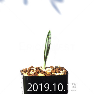 Lachenalia aloides var. quadricolor Seedling 17637