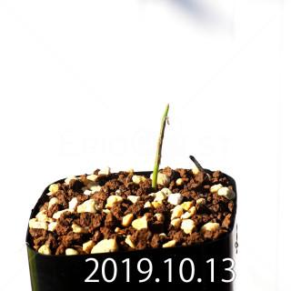 Lachenalia corymbosa EQ453 Offset 17896