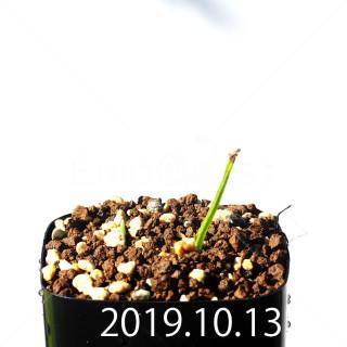 Lachenalia corymbosa EQ453 Offset 17899