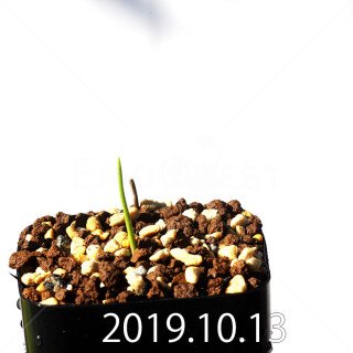 Lachenalia corymbosa EQ453 Offset 17904