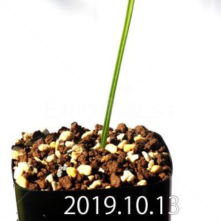 Lachenalia corymbosa EQ453 Offset 17906
