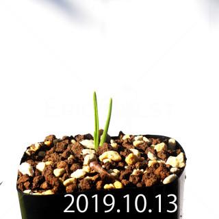 Lachenalia corymbosa EQ453 Offset 17908