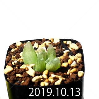 Bulbine mesembryanthemoides EQ651 Seedling 18066