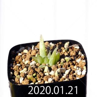 Bulbine mesembryanthemoides EQ651 Seedling 18067