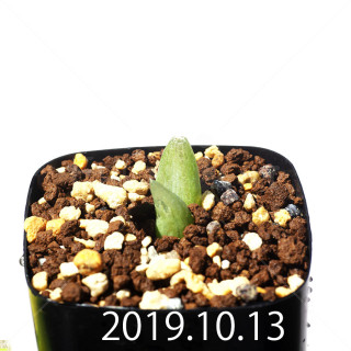 Bulbine mesembryanthemoides EQ651 Seedling 18068