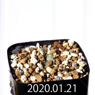 Bulbine mesembryanthemoides EQ651 Seedling 18076