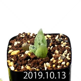 Bulbine mesembryanthemoides EQ651 Seedling 18077