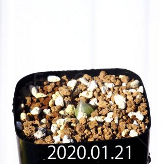 Bulbine mesembryanthemoides EQ651 Seedling 18078