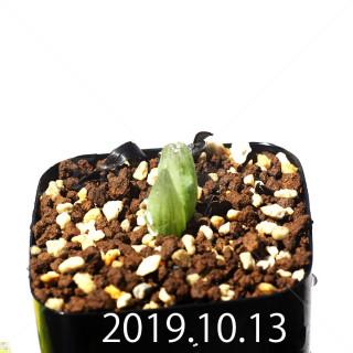 Bulbine mesembryanthemoides EQ651 Seedling 18079