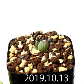 Bulbine mesembryanthemoides EQ651 Seedling 18084